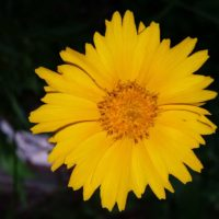 A yellow flower