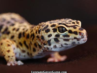 Cute Cat Face Wallpaper Leopard Gecko Pictures Amp Photos