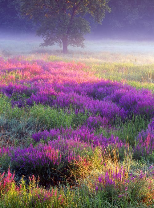 Loosestrife, Troy Meadows, New Jersey