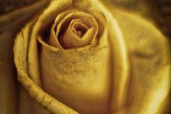 Roses Sacrées