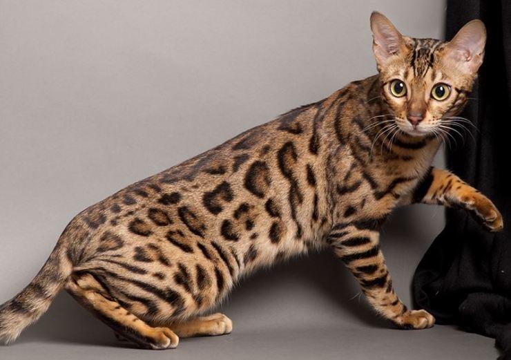 berapa harga kucing paling mahal di dunia? ini top 12 baka kucing termahal