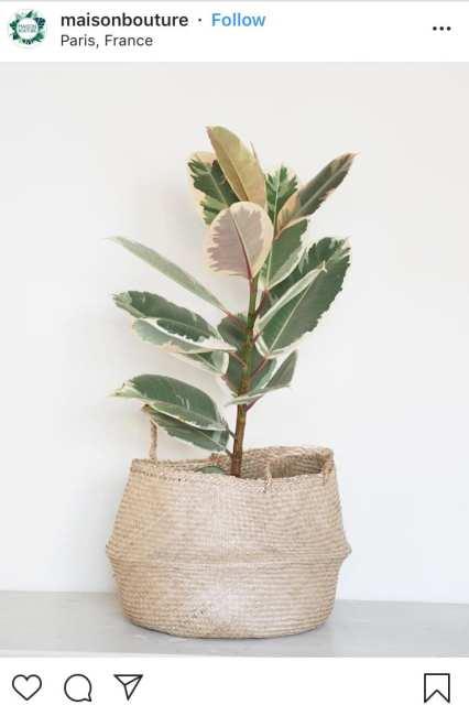 Ficus Elastica - Le piante di instagram - Le Plume
