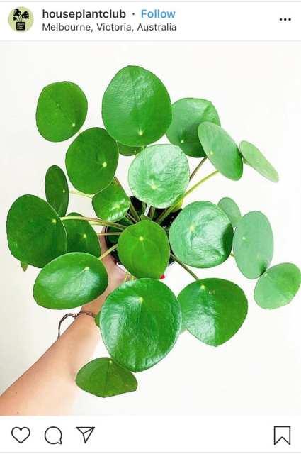 Pilea - le piante di instagram - Le Plume