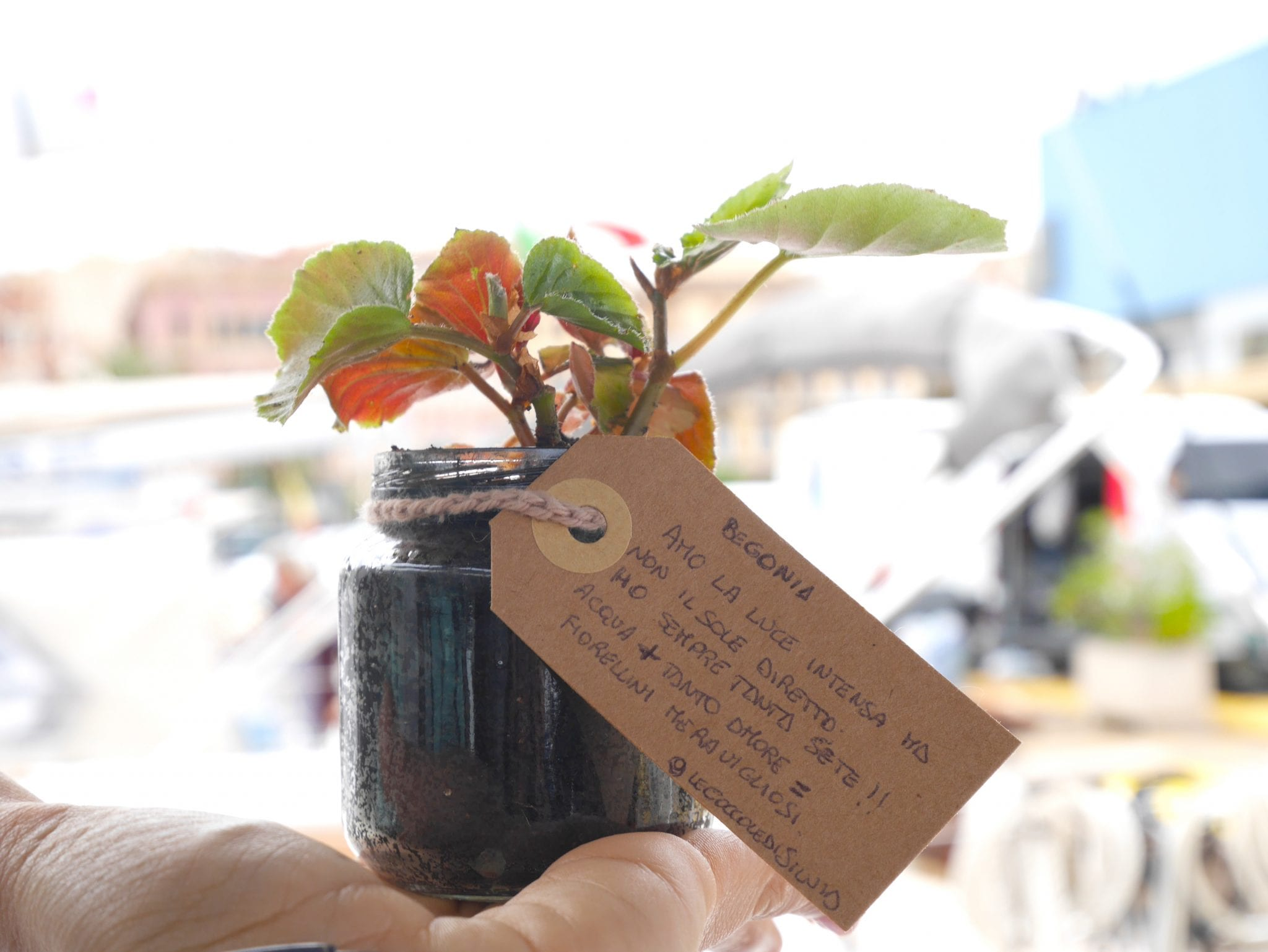 Begonia - Plant Swap on board - Le Plume