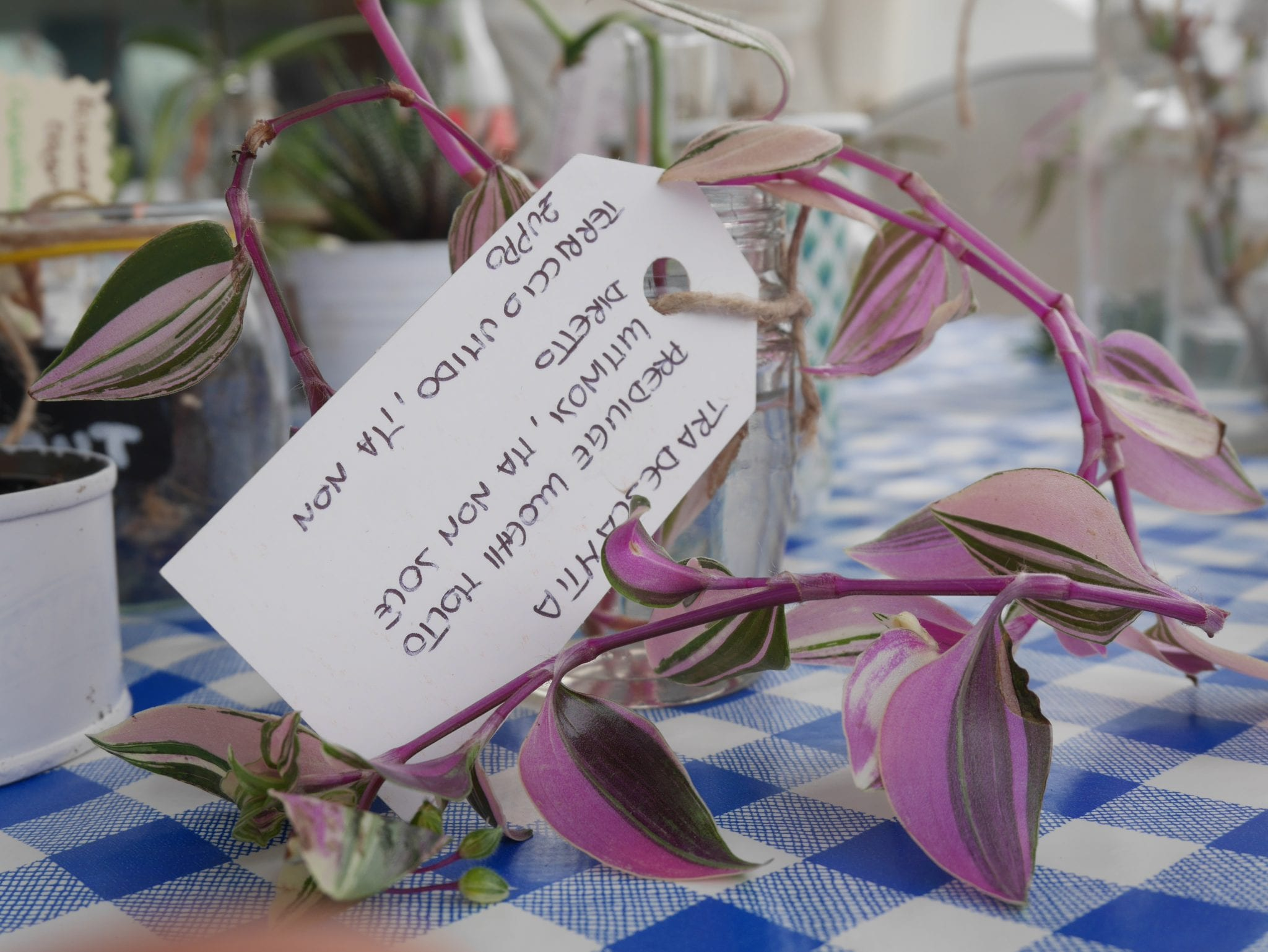 Tradescantia tricolor plant swap on board Le Plume