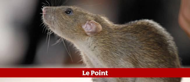 Des tests ont été effectués sur les rats.