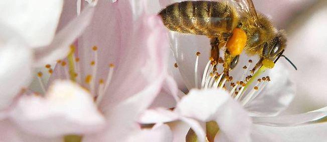 Les causes de l'agonie des abeilles : les pesticides, le stress, les maladies.