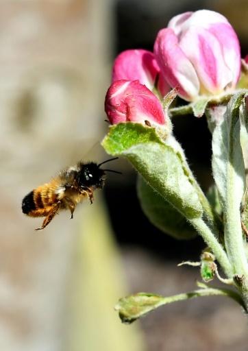 Abeille osmie. Comme les abeilles qui font notre miel (Apis mellifera), ces solitaires (Osmia cornuta et Osmia rufa) fertilisent les plantes en butinant, transportant ainsi le pollen d'une fleur à une autre, mais mieux et plus vite. © GEORGES GOBET AFP