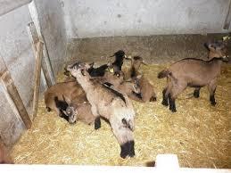 Vue d'un troupeau de cabris dans un enclos