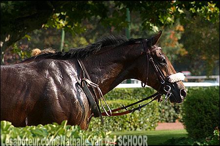 cheval pur sang anglais  la race  ses origines et le standard
