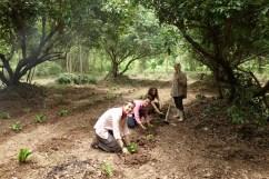 Plantation de fleurs comestibles en Agroforesterie (Longhan tree), ferme de Aun