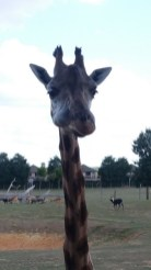 Girafes - Zoo de la boissiere du dore