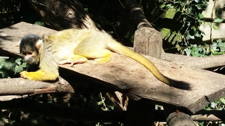 Saimiri à tête noire - Zoo de la boissiere du doré