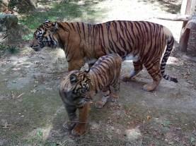 Tigre de sumatra - Zoo de la boissiere du doré