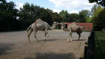 Dromadaires - Zoo de la boissiere du doré