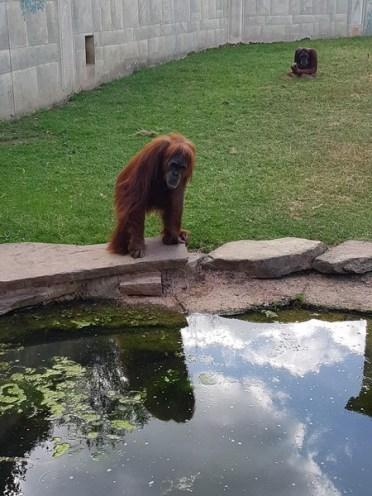 Orang-outan - Zoo de la boissiere du doré