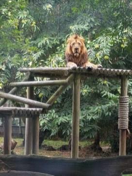 Lion d'Asie - Zoo de la boissiere du doré