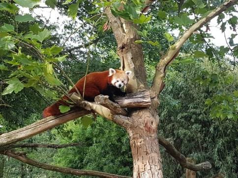 Panda roux - Zoo de la boissiere du doré