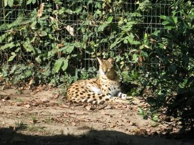 serval - Zoo de la boissiere du doré