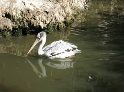 Pélican - Zoo de la boissiere du doré