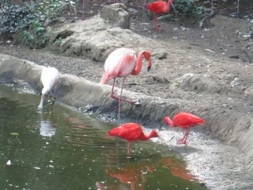 Flamands rouges de Cuba - Zoo de la boissiere du doré