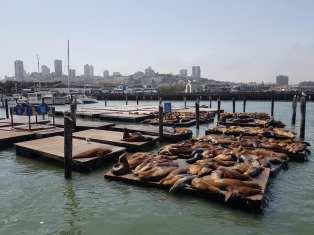 Les otaries de Pier 39 - San Francisco