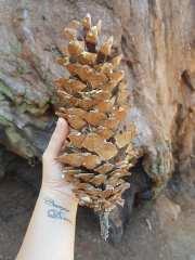 Pomme de pin géante de Sequoia national park - USA