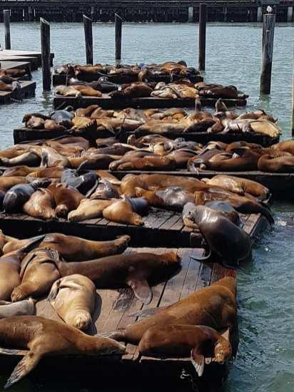 otaries à Pier 39 - San Francisco