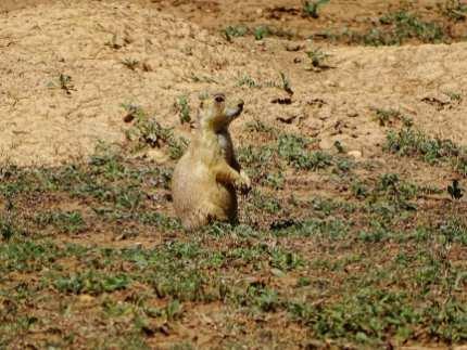 Chien de prairie - Bryce Canyon