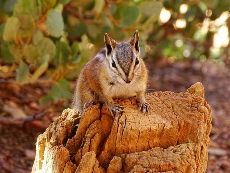 Chipmunk (ou Tamia) - Bryce Canyon