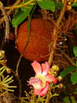 L'arbre « boulet de canon » (Cannonball Tree en anglais) - Louk Peun Yai en Thaï - est un arbre pouvant atteindre 35 mètres de hauteur