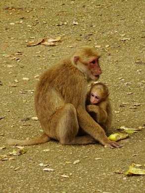 Les singes de Than Pla Cave