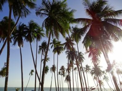 Palmiers à Mui Ne - Vietnam