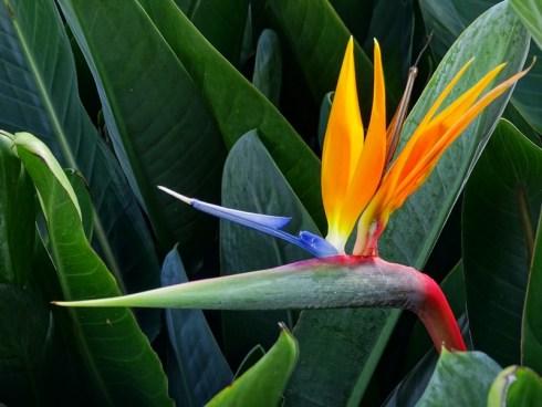 Fleur oiseau du Paradis - Vietnam