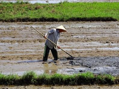 paysan dans un champ de rizières à Hoi An