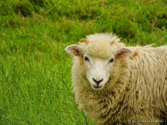 mouton en Nouvelle-Zélande