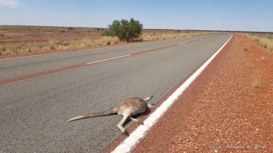 kangourou mort sur la route vers Coober Pedy - Australie