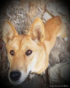 Dingo au Gorge Wildlife park - Adelaïde - Australie