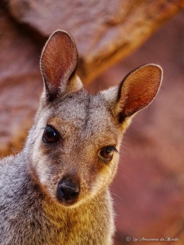 Wallaby à Simpson Gap MacDonnellRanges - Australie