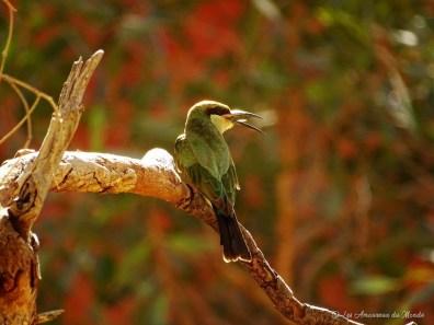 oiseau à Uluru