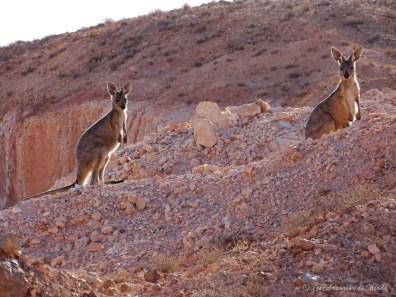 wallaby à Coober Pedy - Australie