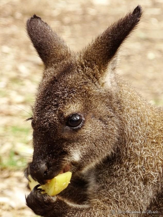Wallaby au Gorge Wildlife park - Adelaïde - Australie