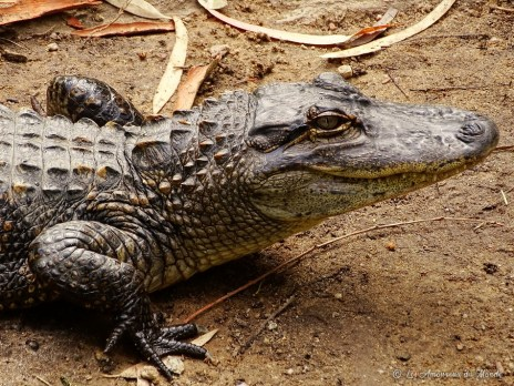 crocodile au Gorge Wildlife park - Adelaïde - Australie