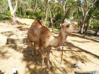 Dromadaire au Gorge Wildlife park - Adelaïde - Australie