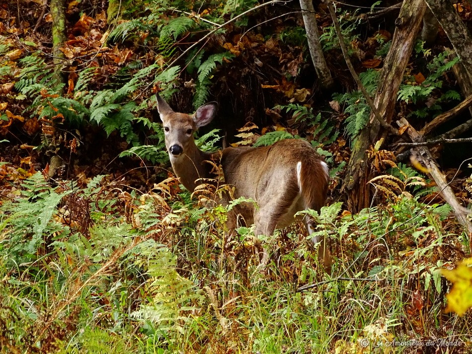 un cerf de virginie au Parc national du Mont-Orford dans les Cantons de l'Est- Canada