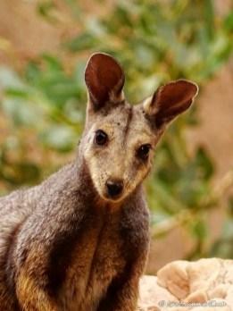 Wallaby dans le Centre Rouge en Australie