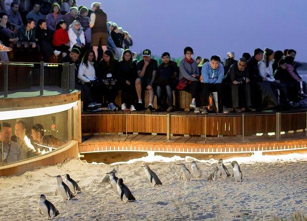 parade des pingouins sur Phillip island en Australie