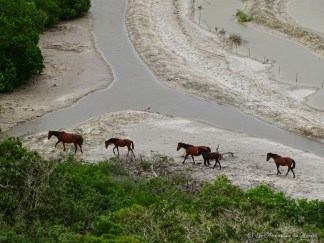Chevaux sauvages à Poingam
