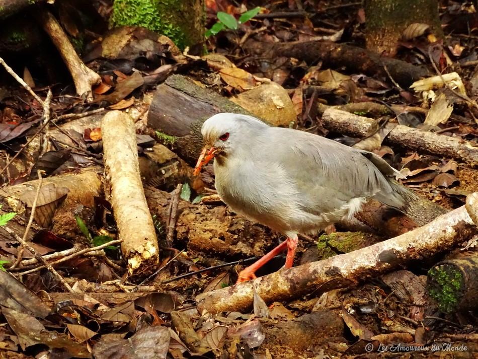 Le Cagou, oiseau emblème de la Nouvelle-Calédonie