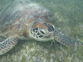 Nager avec des tortues sur l'îlot Amédée
